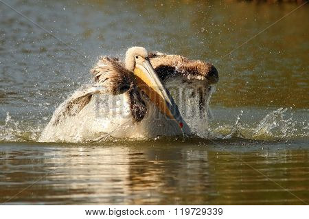 Juvenile Pelican Splashing Water