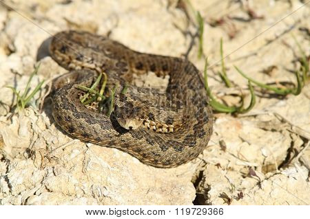Meadow Adder In Natural Habitat