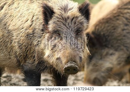 Portrait Of Wild Hog
