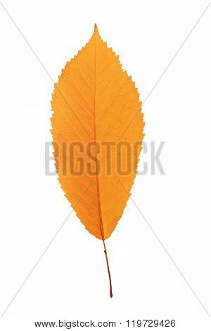 Reddish Cherry Leaf Over White