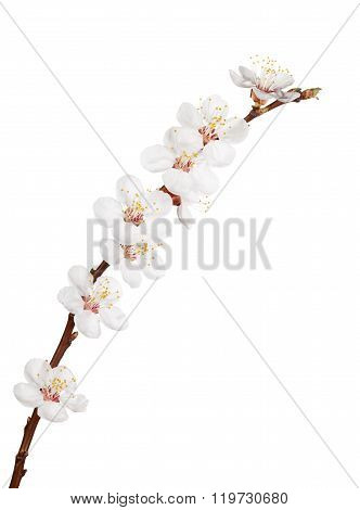 Blooming Sprout Of Cherry Tree