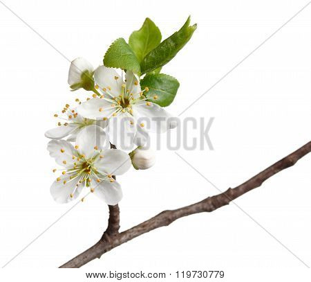 Macro Of Fruit-tree Blossom Isolated On White