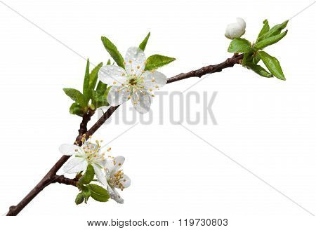 Dew Drops On Fruit-tree Blossom