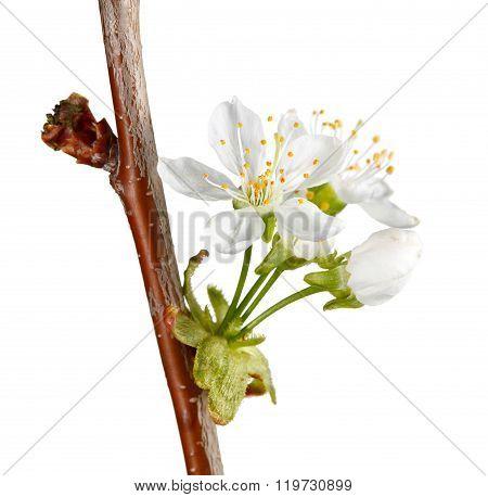 Macro Of Cherry Blossom