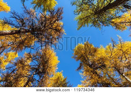 In The Forest Of Golden Larch In Engadin