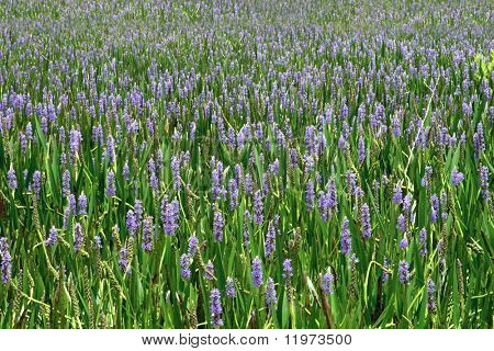 A sea of purple wildflowers. Background.