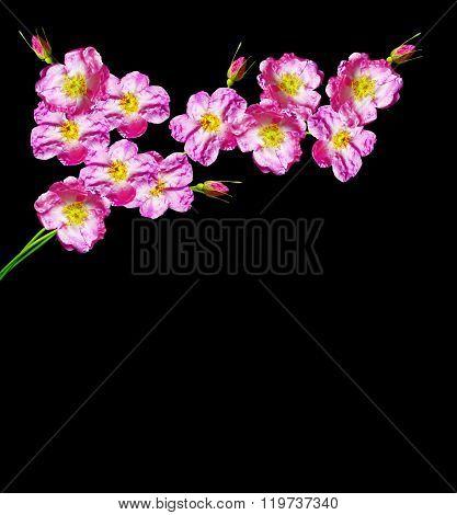 Dog Rose (rosa Canina) Flowers On A Black Background