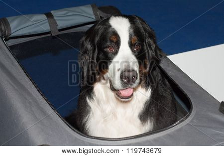 Greater Swiss Mountain Dog On Transport Box