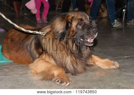 Leonberger Lying On The Floor, Indoor Photo