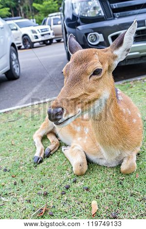 Close Up Of Female Spotted Deer In Car Park