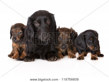 adorable dachshund dog with puppies