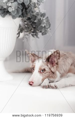 Red Merle Border Collie, 6 months old
