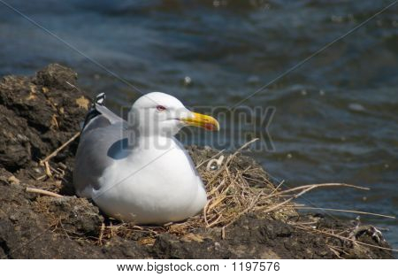 Sea Gull Vogel im nest