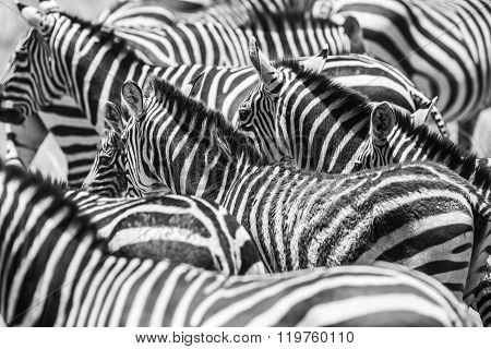Close up of a flock with black and white zebras