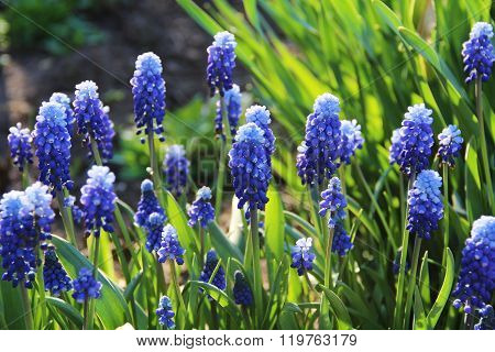 Spring Flowers - Blue Flowers Muscari Or Murine Hyacinth