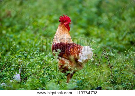 Majestic Red Rooster.