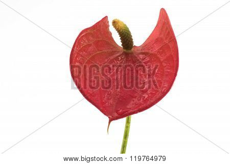 Front Detail On Blossom Red Flamingo Lily (anthurium Andreanum) On White Background