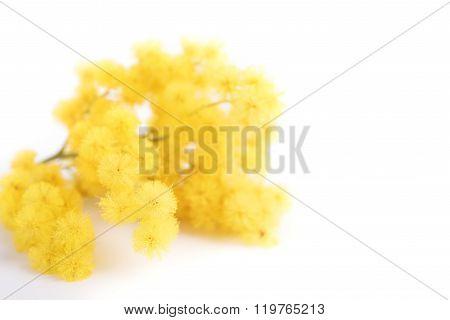 Fresh mimosa flower on white