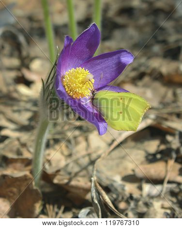 Yellow butterfly sitting on a flowering snowdrops. Pulsatilla patens.