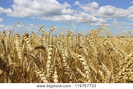 Landscape Of Wheat Field