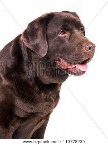 Chocolate labrador dog girl is isolated on the white background