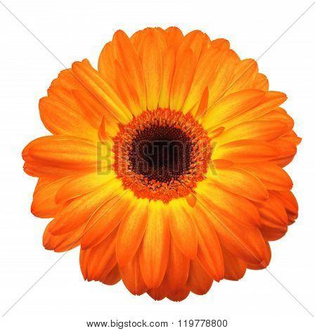 Large Orange Gerbera Flower On White Background