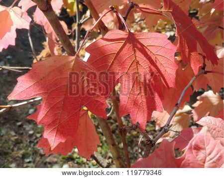Red Colours Of Autumn Maple Leaves