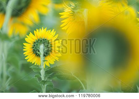 Sunflower Clouse Up.
