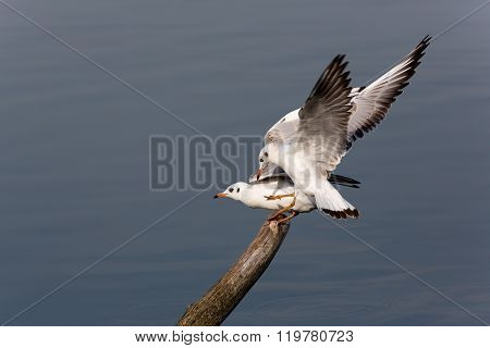 Two Seagulls With Beautiful Wings On A Tree