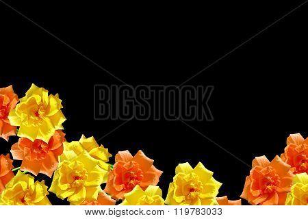 Dog Rose (rosa Canina) Flowers