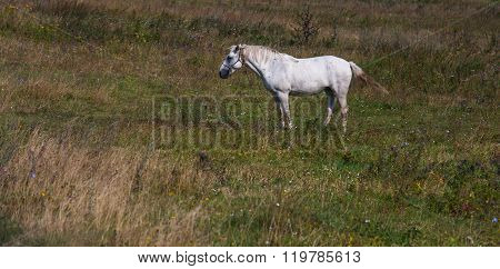 The white horse on a green field