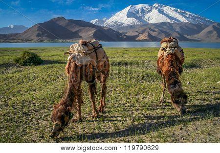 Camels at Kara Kul
