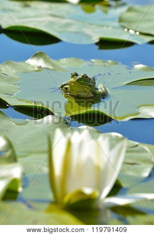 Marsh Frog Among Waterlilies In The Pond