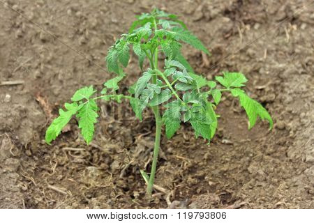 Young Tomato Plant. Growing Tomato In Garden