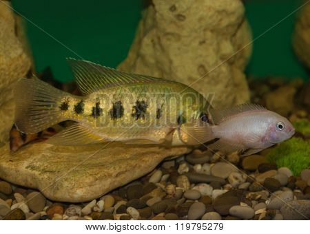 Central American fish cichlid family in the aquarium