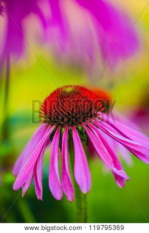 Summer garden, Purple Coneflowers (Echinacea)