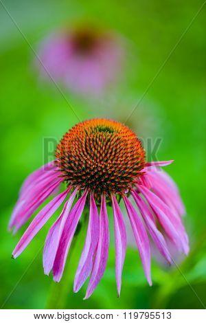 Purple Coneflowers (Echinacea) - healthy plants in the garden