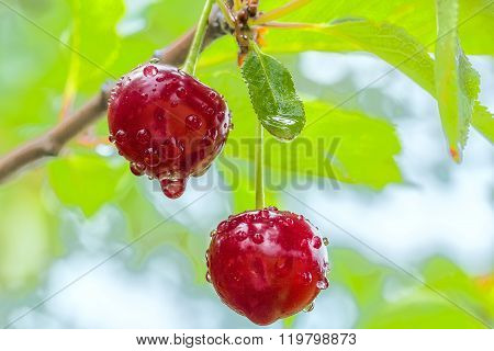 Two Cherries With Water Drops In The Rain