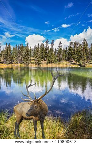 Proud deer antlered stands on the banks of the pretty lake. The lake reflects multi-colored autumn woods and mountains. Jasper National Park in the Rocky Mountains of Canada