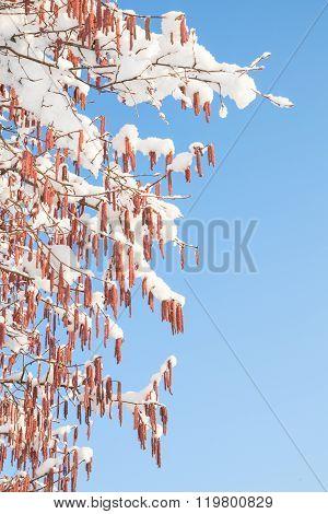 Melting Snow On Birch Or Alder Catkins Against Spring Sky