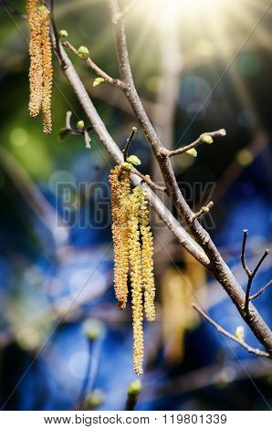 Birch Catkins In Spring