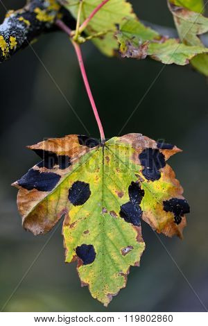 Sycamore (Acer pseudoplatanus) infected with Rhytisma acerinum