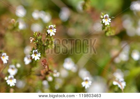 Common eyebright (Euphrasia nemorosa) plants in flower