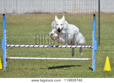 White Shepherd At A Dog Agility Trial
