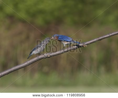 Male Bluebird Feeding Baby