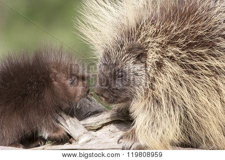 Porcupine Mother and Baby Interactionn