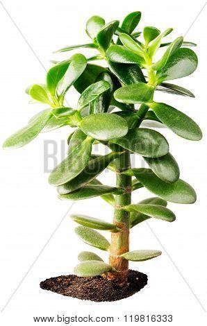 Indoor Succulent Plant Isolated