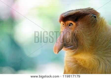 Male Proboscis Monkey In Sabah Borneo, Malaysia.