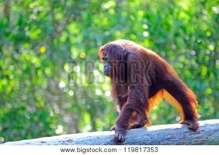 Orangutan In Sabah Borneo, Malaysia.
