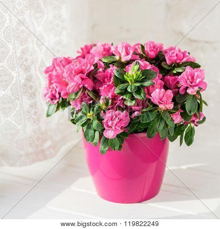 blooming azalea in pink flowerpot